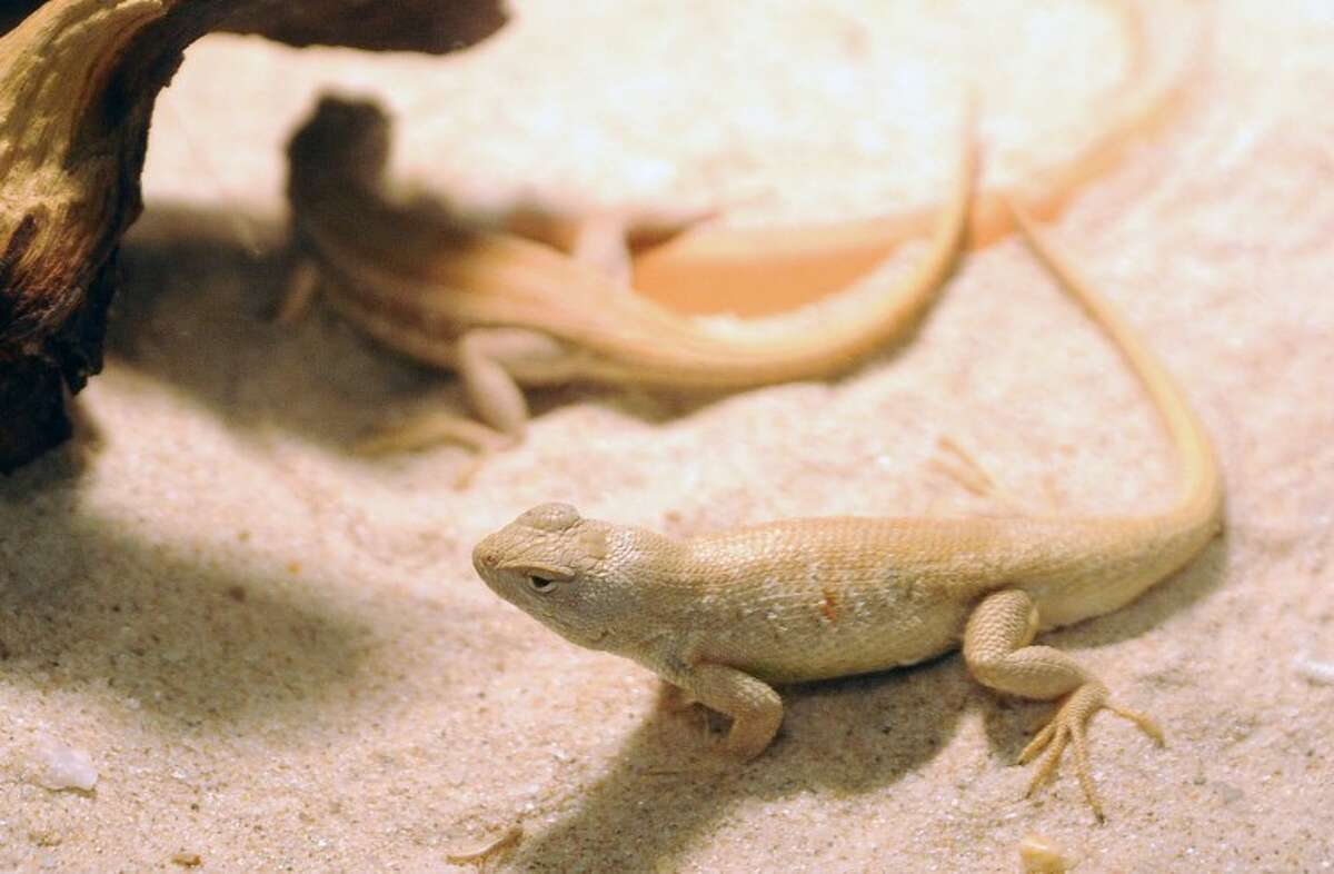 Two dune sagebrush lizards are in a terrarium at the legislative hearing about the lizard's habitat Monday afternoon at UTPB.