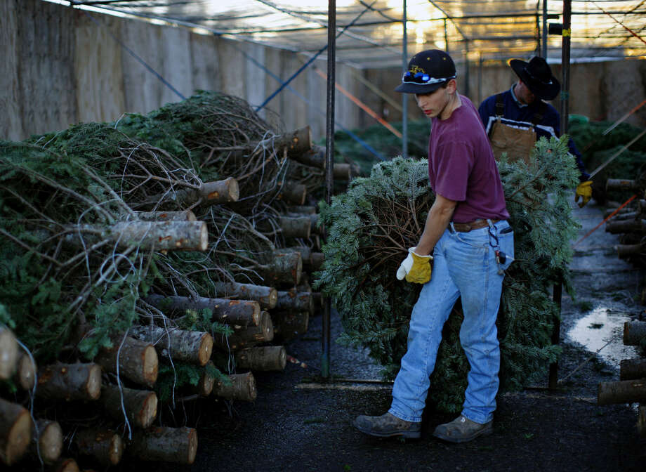 Jared Muncy moves a Christmas tree at Oregon Trail Trees located outside Casa Verde Nursery on Wednesday, Dec. 2, 2015. James Durbin/Reporter-Telegram Photo: James Durbin