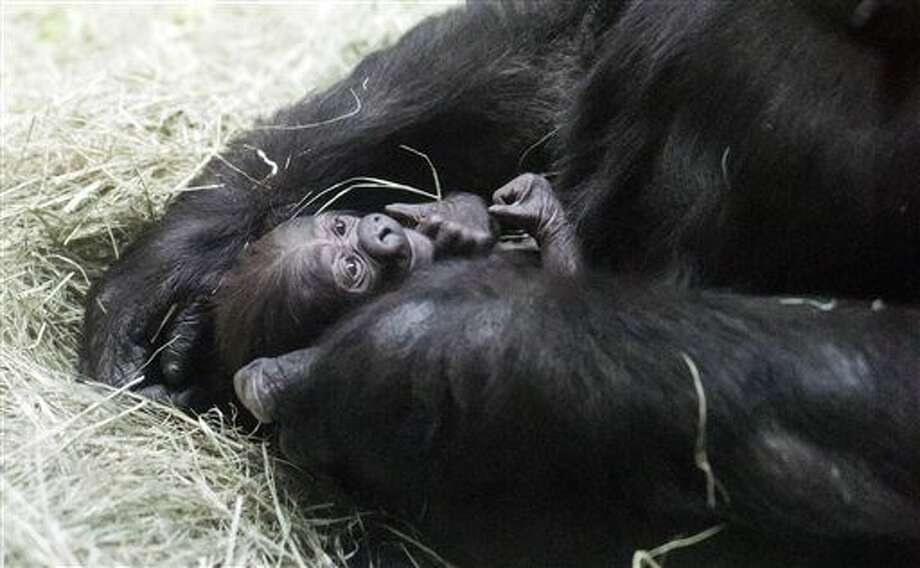 This photo provided by the Fort Worth Zoo shows a male western lowland gorilla that was born Dec. 5, 2015, at the zoo in, Fort Worth, Texas. The yet-to-be-named ape born to first-time parents Gracie and Elmo is the first birth of a western lowland gorilla at the Fort Worth Zoo. (Jeremy Enlow/Fort Worth Zoo via AP) Photo: Jeremy Enlow