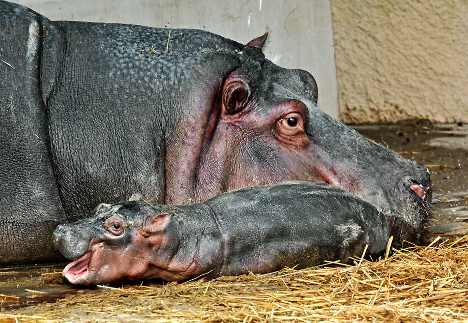 Mara, a hippopotamus at Los Angeles Zoo, gave birth on Friday. This is the first hippopotamus calf the zoo has had in 26 years. Photo: AP Photo/Los Angeles Zoo
