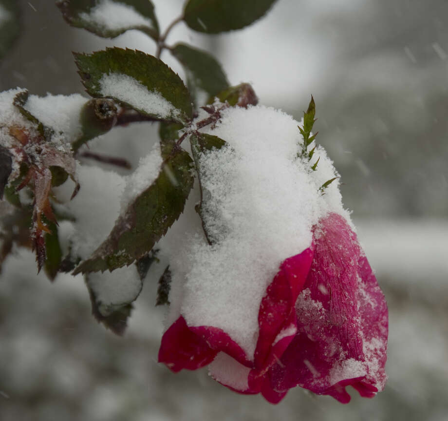 Freezing temperatures and heavy snow Sunday 12-27-2015 drag down the rose bloom on a local bush in Midland. Tim Fischer\Reporter-Telegram Photo: Tim Fischer