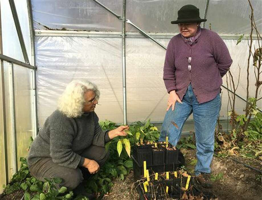 In this photo taken on Dec. 7, 2015, Rebekah Rice, left, and Jean Giblette examine seedlings of trees used in Chinese herbal medicine, after Giblette brought them to Rice's greenhouse for the winter in Delmar, N.Y. Rice, an organic farmer, is participating in a project launched by Giblette to foster medicinal herbs as a profitable niche crop for small farmers. Giblette estimates the market for domestically grown medicinal plants to be $200 million to $300 milliion a year. (AP Photo/Mary Esch) Photo: Mary Esch