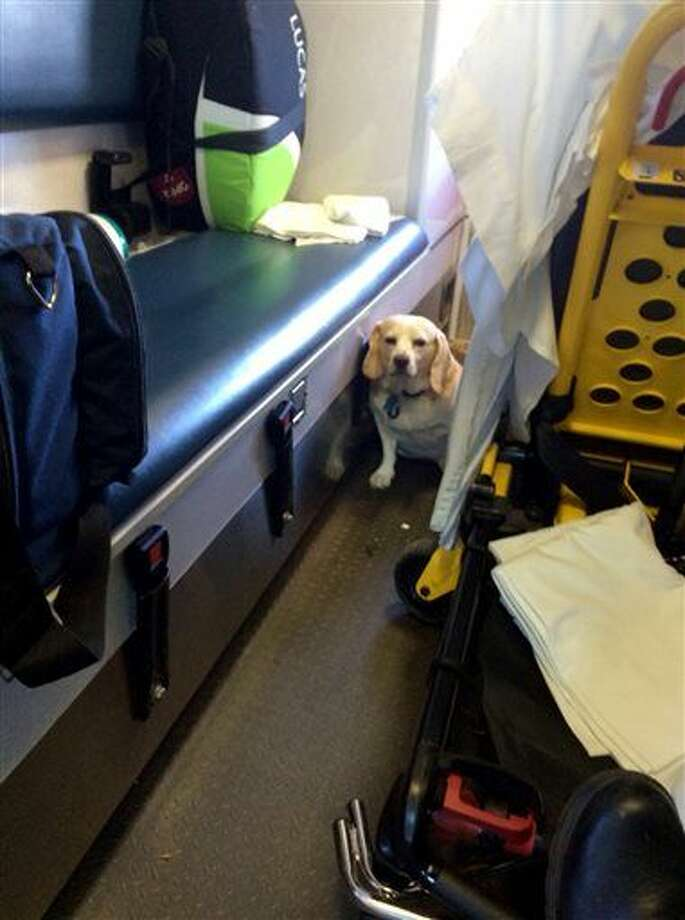 This Oct. 26, 2014 photo shows Buddy a 4-year-old part-beagle in the back of an ambulance in Mason, Texas. The dog hitched a ride on the outside of the ambulance as it was transporting his owner, Mason County rancher J.R. Nicholson to Fredericksburg. After a motorist flagged down the ambulance to say a dog was on a side step, Buddy was then put into the ambulance with the patient. (AP Photo/Tanner Brown) Photo: Tanner Brown