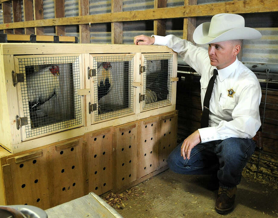 Martin County Sheriff John Woodward checks on the roosters used in cockfighting. Photo by Reid Merritt 2/2/09 Photo: Midland