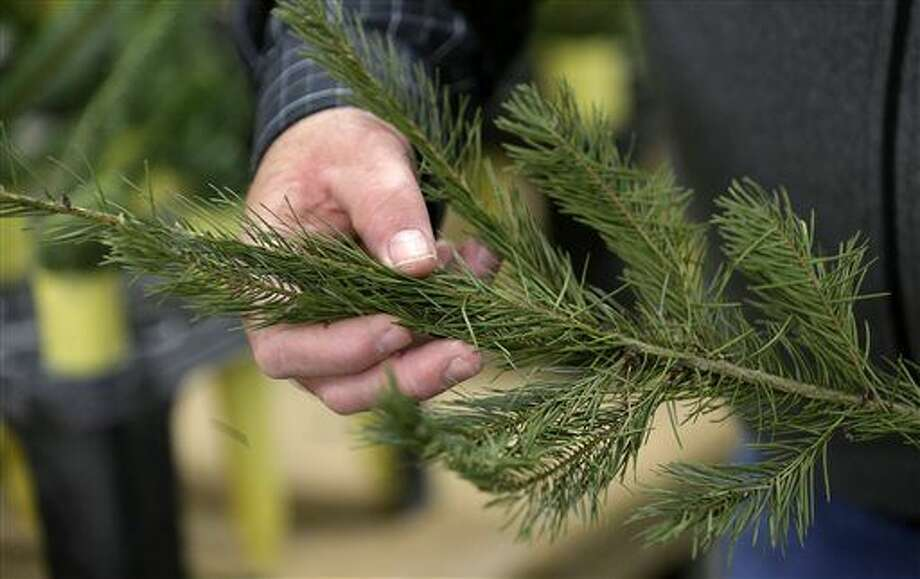 In this photo taken Tuesday, Dec. 23, 2014, Gary Chastagner, a Washington State University plant pathology professor, displays a cutting from a Douglas fir tree that's shedding needles at a school research facility in Puyallup, Wash. Consumers consistently cite messiness as one of the most common reasons they don't have a real tree, says the National Christmas Tree Association. (AP Photo/Elaine Thompson) Photo: Elaine Thompson