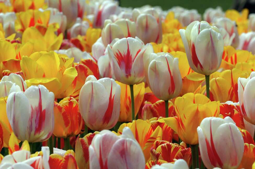 A bed of tulips soaking in the sun during the 2016 Tulip Festival in Washington Park on Saturday May 7, 2016 in Albany , N.Y. (Michael P. Farrell/Times Union)