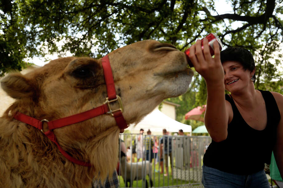 Kate Bommer feeds a can of soda to Larry the camel at the St. Michael Mediterranean Festival on Saturday.  Photo taken Saturday 5/7/16 Ryan Pelham/The Enterprise Photo: Ryan Pelham / ©2016 The Beaumont Enterprise/Ryan Pelham