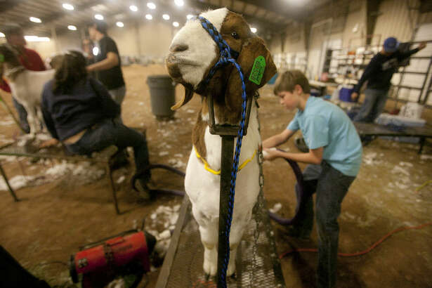 Gage Hale, age 11, trims his goat during check in for the Midland County Livestock Show on Wednesday, Jan. 13, 2016, at Midland County Hoseshoe Arena. James Durbin/Reporter-Telegram