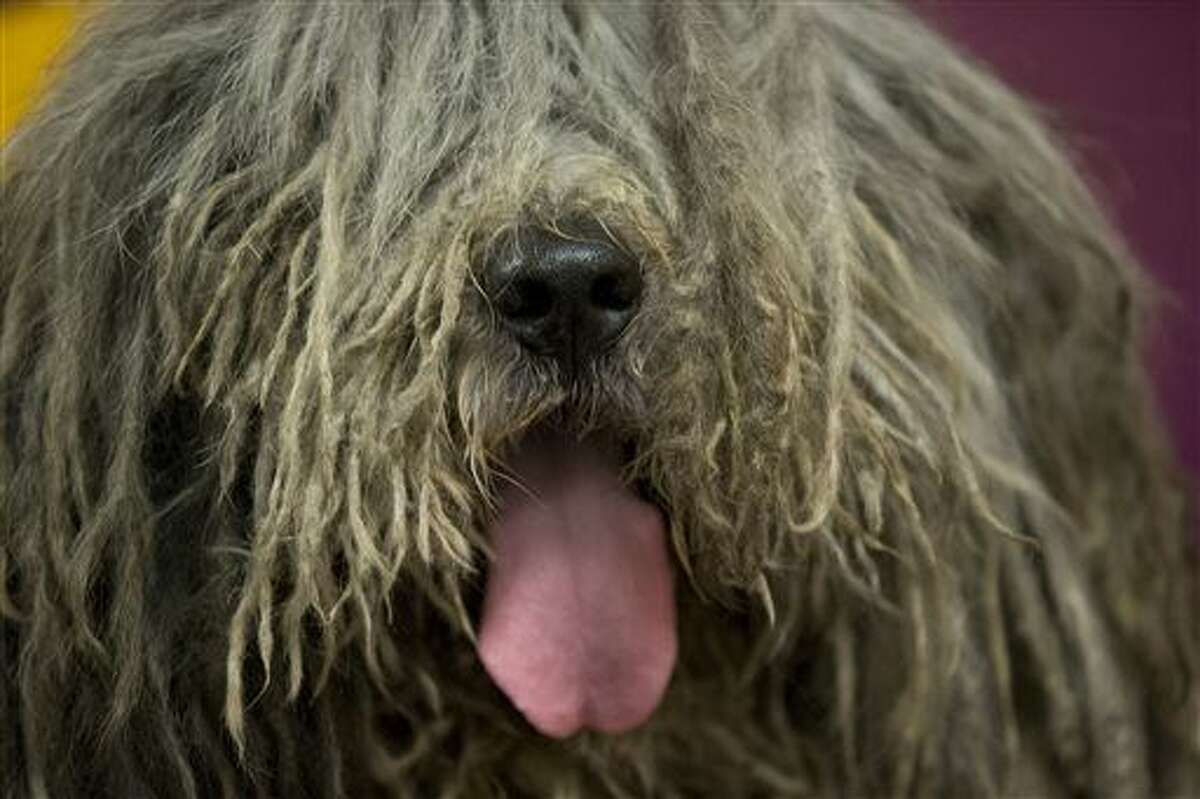Bergamasco While it is true the that the Bergamasco has a lot of long hair, the hair does not shed and doesn't require frequent grooming.