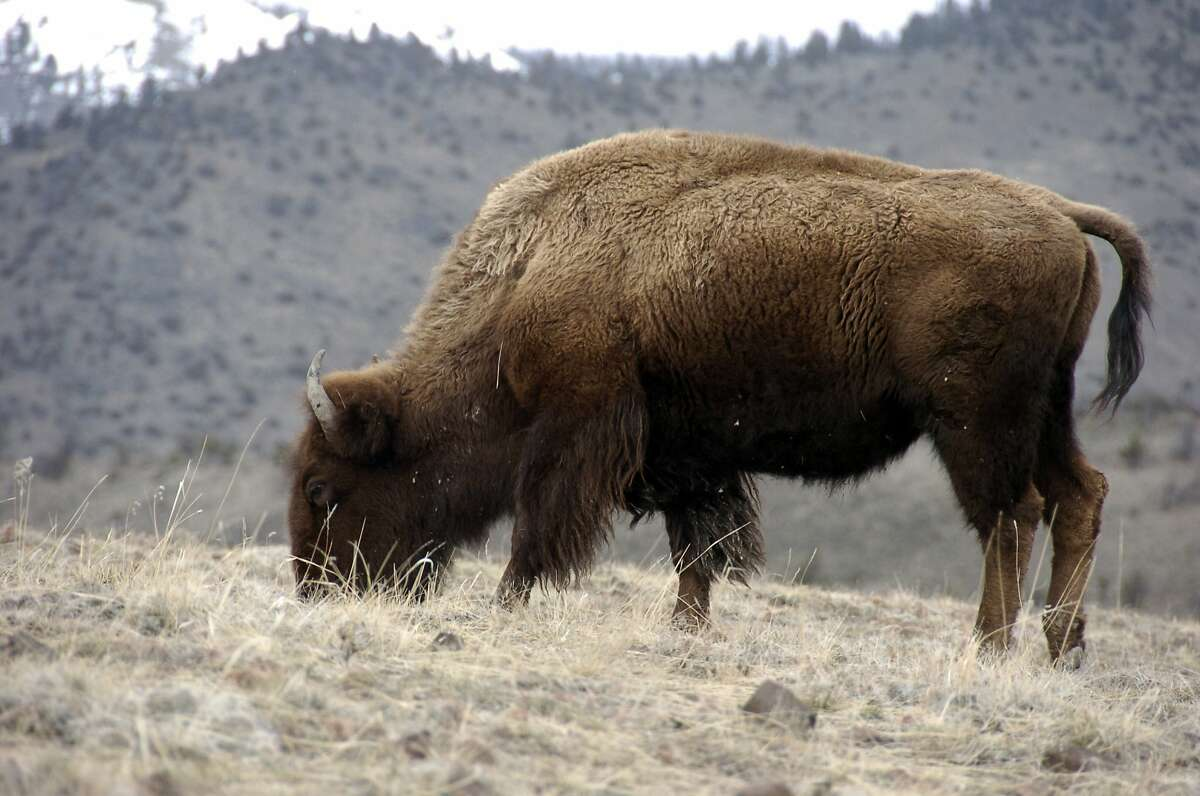 A bison grazes in Yellowstone National Park near Gardiner, Mont., in this March 9, 2016 photo.