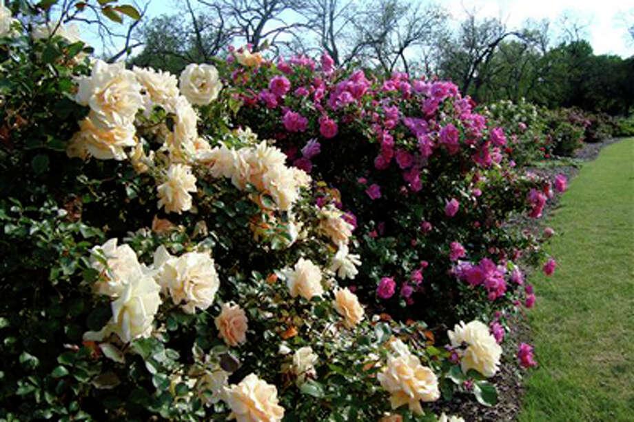 Photo: Gaye Hammond / Houston Rose Society