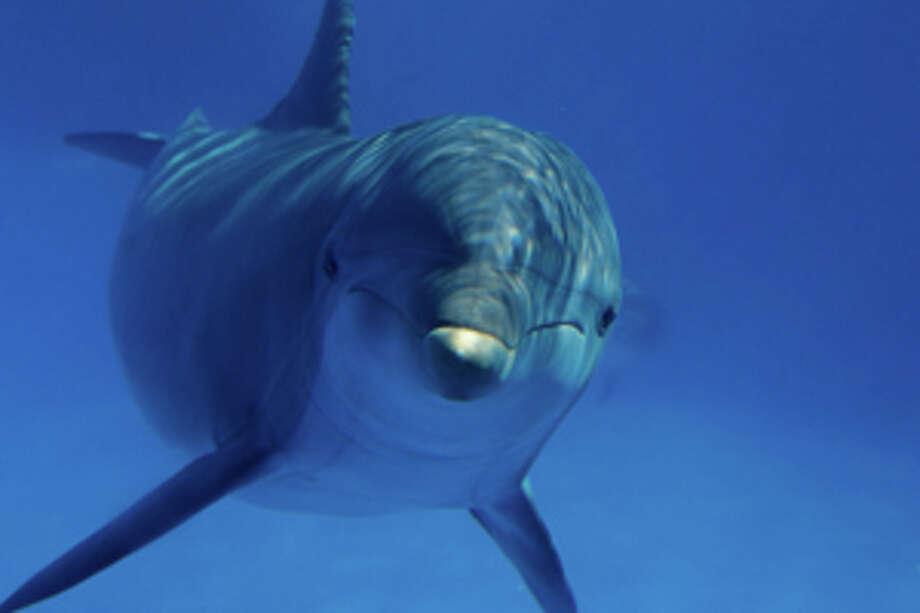 Bottlenose dolphin (Tursiops truncatus) underwater. / (c) Tom Brakefield