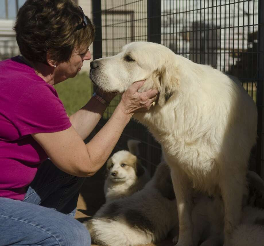 Midland SPCA Director Avey Moon greets one of the rescued Great Pyrenees available at the shelter Friday afternoon. Photo by Tim Fischer/Midland Reporter-Telegram Photo: Tim Fischer
