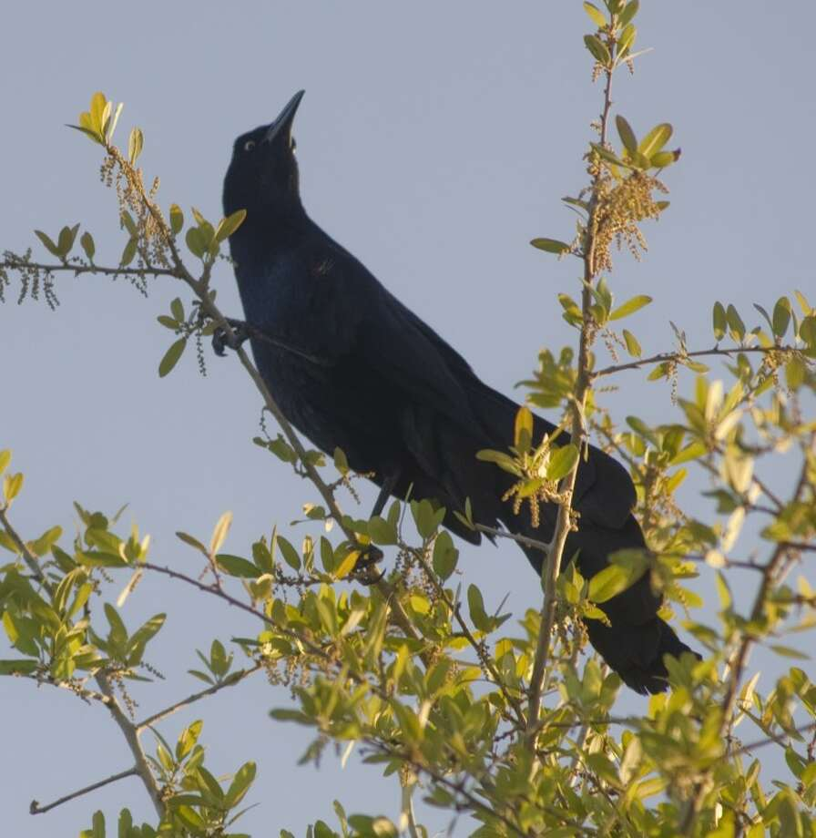 Grackles in Midland. Photo by Tim Fischer/Midland Reporter-Telegram Photo: Tim Fischer