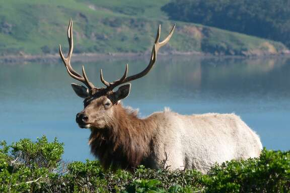 The crown prince of Bay Area wildlife, a big tule elk photographed in February, 2014, out of Pierce Ranch at Point Reyes National Seashore, backed by Tomales Bay
