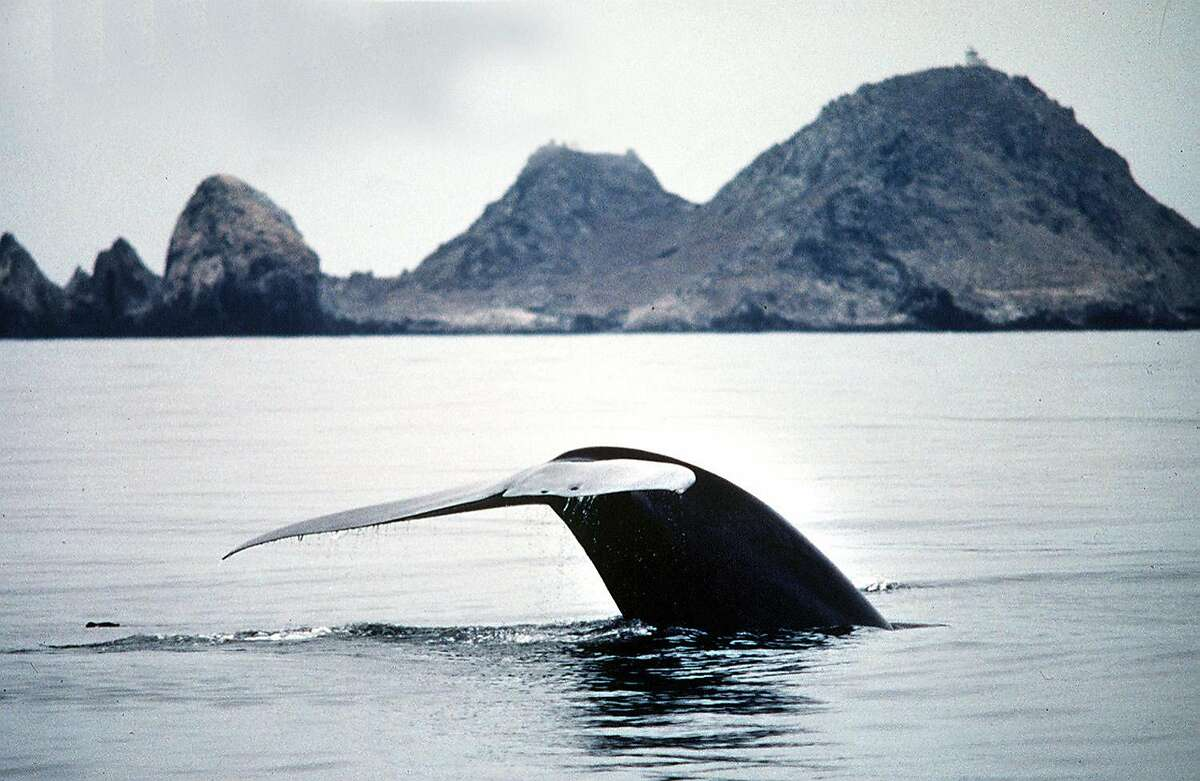 A Blue Whale dives under the waters off the Farallons during a Oceanic Society Expedition.