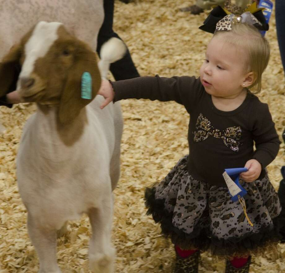 16-month-old Krista Law pets a goat Saturday at the Midland County Livestive Show. Photo by Tim Fischer/Midland Reporter-Telegram Photo: Tim Fischer