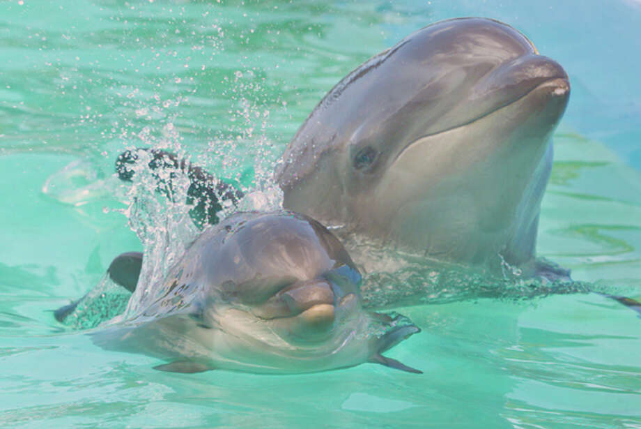 Other dolphins in Hawaii in 2005. (AP Photo/Star Bulletin, George F. Lee) Photo: GEORGE F. LEE / STAR BULLETIN
