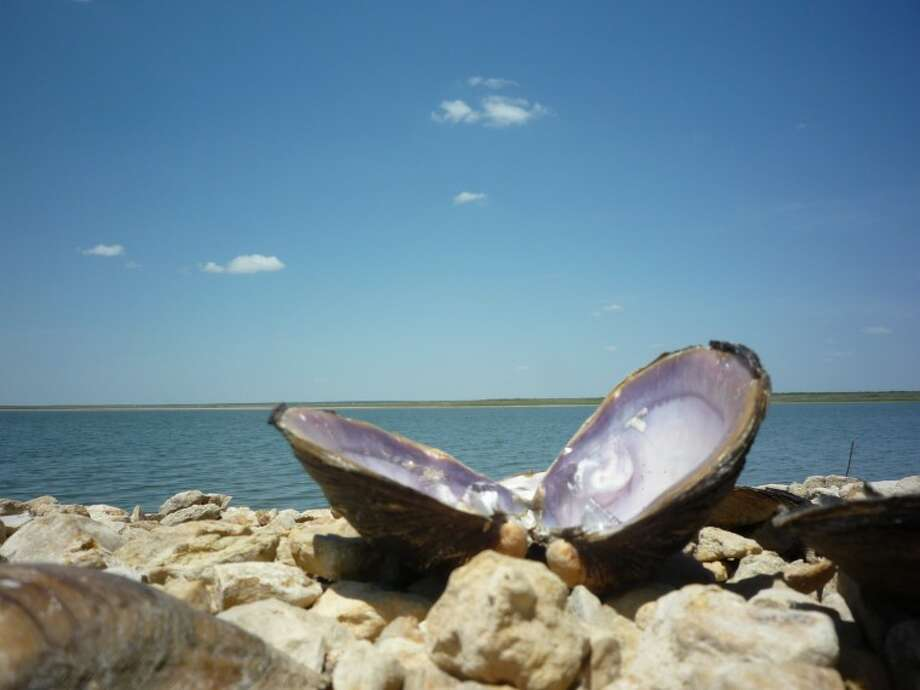 A group of river shells sit just above the tide's reach at the north shore of OH Ivie Reservoir. Photo: John Boyd, MRT