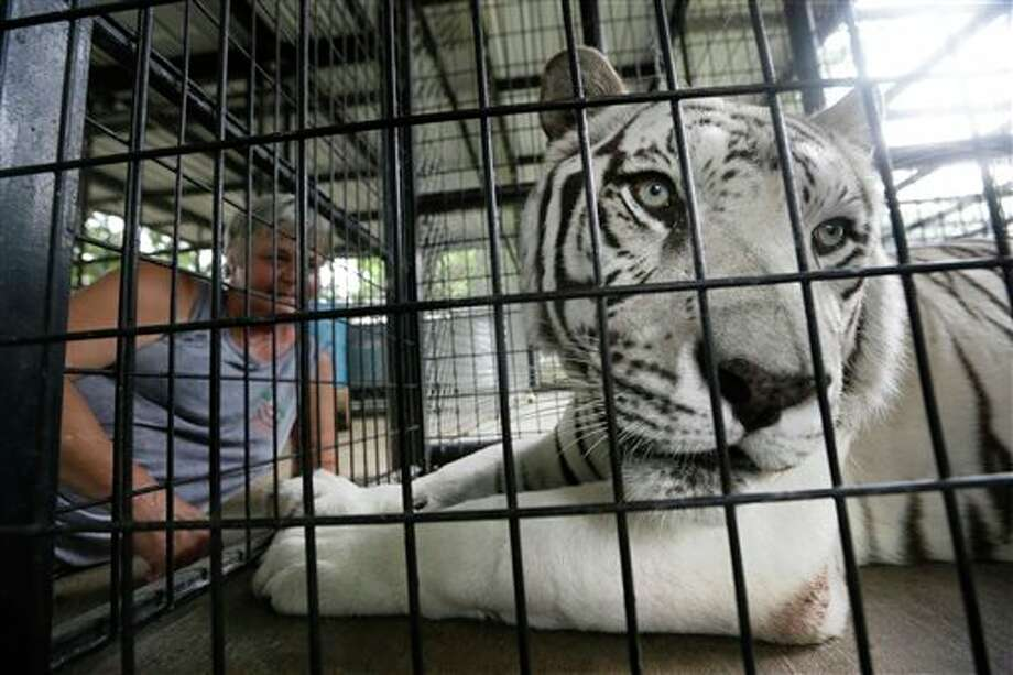 In this Thursday, July 25, 2013 photo, Kazuri, a 10-year-old male Bengal tiger suffering from distemper, is calmed in a pen before a blood draw at the In-Sync Exotics Wildlife Rescue and Education Center in Wylie, Texas. The center's spokeswoman Lisa Williams said Kazuri died Sunday, Aug. 11, 2013. Canine distemper, a very rare disease to strike felines, has killed and sickened several big cats at the well respected animal sanctuary. (AP Photo/LM Otero) Photo: LM Otero / AP