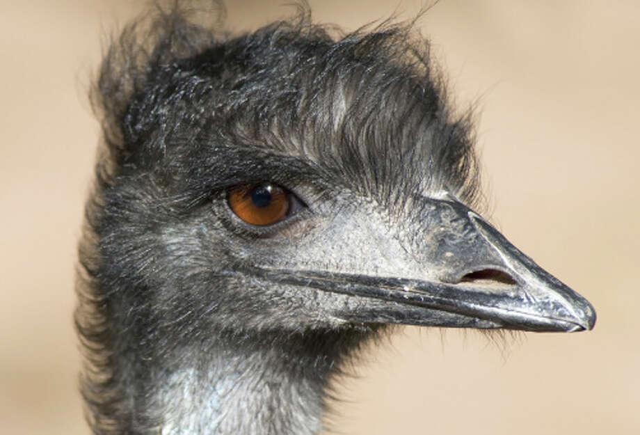Close up of an Emu Photo: Stock Image / iStockphoto