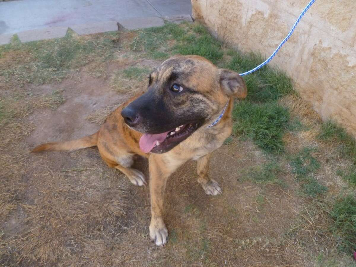 This 9-month-old female pit bull mix with a brindle color pattern is one of two dogs in need of a home. The dogs wandered onto the property of a Midland County resident.