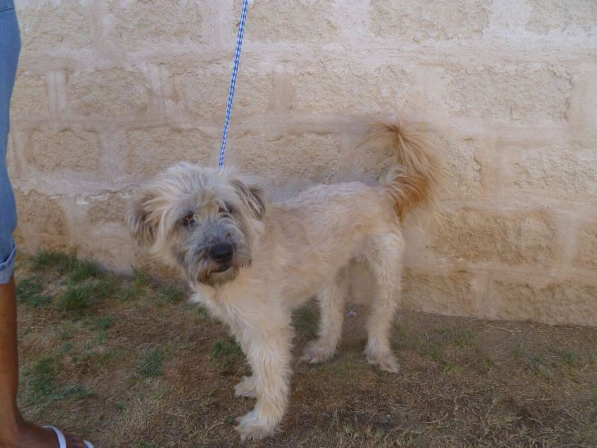 This shaggy, white, 4-year-old neutered male is one of two dogs in need of a home.