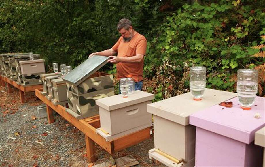 Mark Hohn, a novice beekeeper, checks out bees in one of the hives in the backyard of his Kent home, Sept. 22, 2012. Dead honeybees from his 1.25-acre spread are the first in Washington confirmed to be infected by a parasitic fly. (AP Photo/The Seattle Times, Ellen M. Banner) SEATTLE OUT, USA TODAY OUT, MAGAZINES OUT, TELEVISION OUT, NO SALES, MANDATORY CREDIT Photo: Ellen M. Banner / The Seattle Times