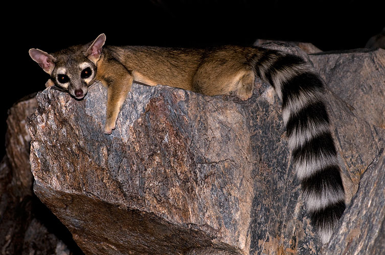 Ringtails adopt campers in Guadalupe Mountains - Midland Reporter-Telegram