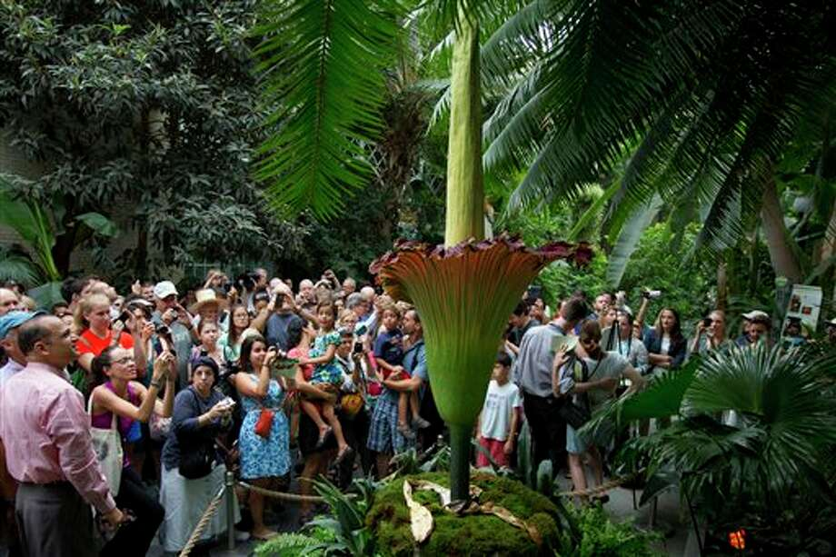 "Visitors crowd around a Titan arum, also known as the ""corpse flower"" in expectation of getting a whiff of it's characteristic blooming smell of rotting flesh, Monday, July 22, 2013, at the U.S. Botanic Garden in Washington. The smell had peaked in the very early morning hours, yet despite the lack of stink visitors streamed in to get a look at the unusual plant. (AP Photo/Jacquelyn Martin) Photo: Jacquelyn Martin / AP2013"