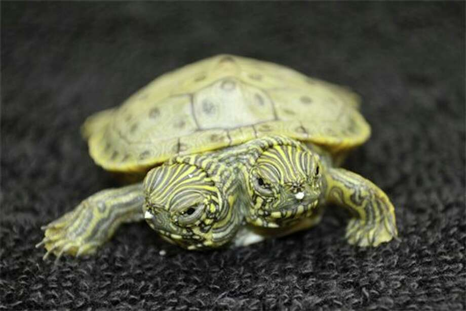 FILE- This undated file photo provided by the San Antonio Zoo on June 25, 2013, shows Thelma and Louise, a two-headed Texas cooter turtle. The two-headed turtle born last month at the San Antonio Zoo has become so popular that she has her own Facebook page that on Sunday, July 28, 2013, showed photos of the reptile and imaginary conversations between the two heads. (AP Photo/San Antonio Zoo, File) Photo: Uncredited / San Antonio Zoo