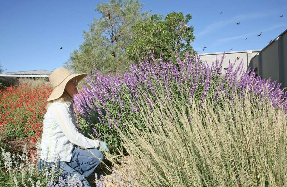 June Alderman takes a break from her work to look at some of the hundreds of migrating monarch butterflies as they fly around the Mexican bush sage, Oct. 3 at the Commemorative Air Force Museum garden. Photo: Cindeka Nealy/Reporter-Telegram