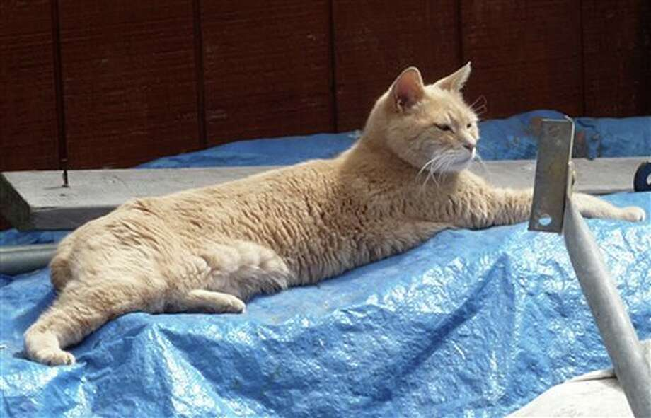 FILE - In this Wednesday, July 11, 2012 file photo provided by Sandy Bubar, a cat named Stubbs lies on a tarp in an alley in Talkeetna, Alaska. Locals know him as Mayor Stubbs, a 15-year-old yellow cat who has been overseeing the town since shortly after he was born. For the honorary mayor, a weekend dogfight was less political, more literal. Mayor Stubbs the cat is recovering at a veterinarian's office in Wasilla after being injured by a dog Saturday night, Aug. 31, 2013 in the tourist town near Denali National Park. (AP Photo/Sandy Bubar, File) Photo: Sandy Bubar / Sandy Bubar