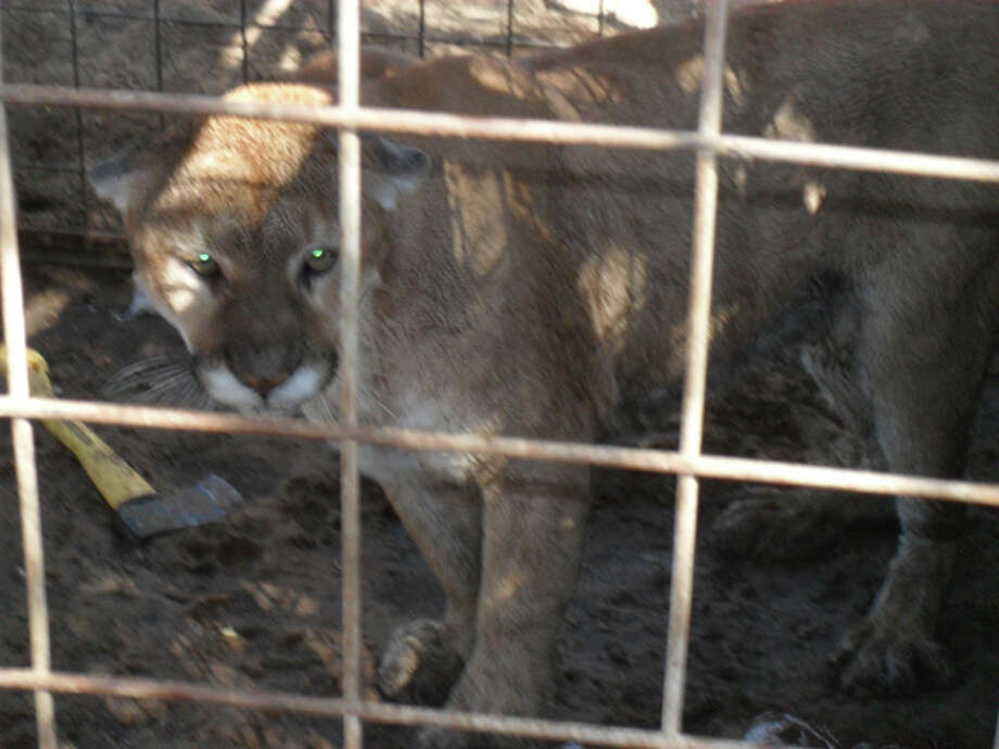 The Odessa Police Department says this mountain lion, which was being raised as a pet, attacked and mauled a 4-year-old boy in Odessa who lived in the neighborhood of the big cat's owner. Photo: Courtesy Odessa Police Department / COPYRIGHT, 2009