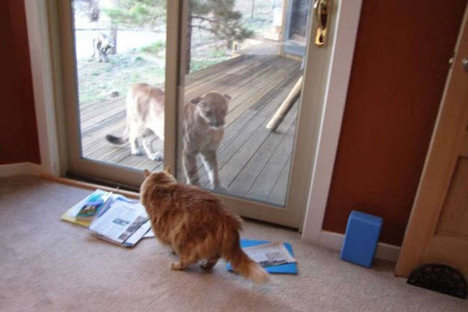 In this photo provided by Gail J. Loveman, Zeus, an 11-year-old Maine Coon cat, encounters a mountain lion through a sliding glass door in Boulder, Colo. Loveman, Zeus's owner, told The Denver Post she was busy in the office of her home when she heard a noise and turned to see a young mountain lion on the porch. Photo: Gail J. Loveman / AP
