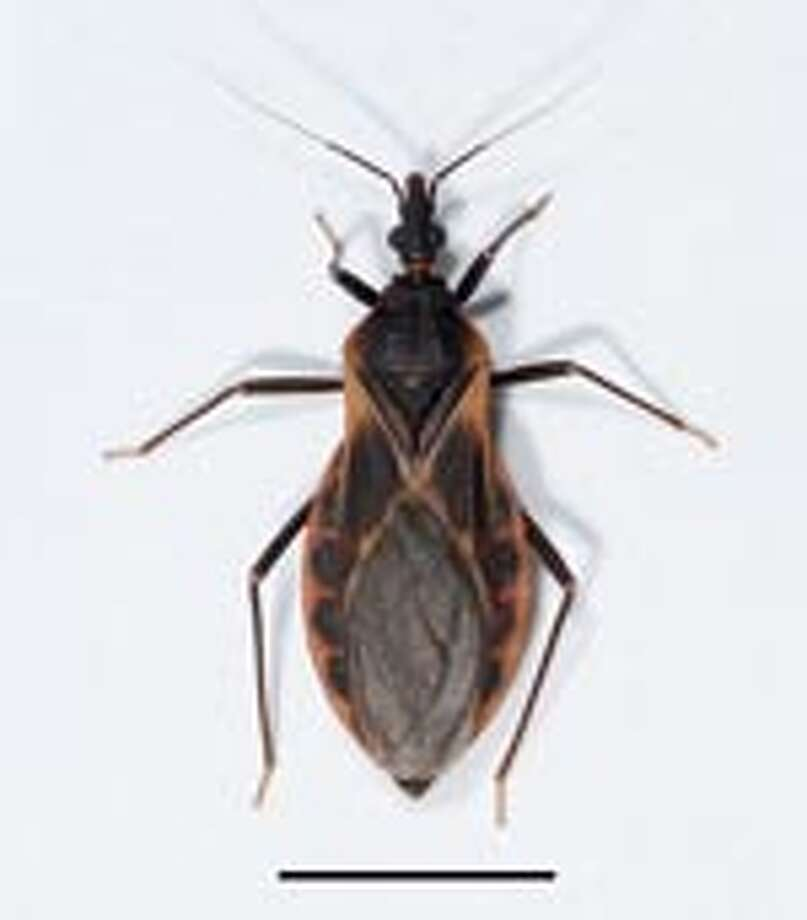 The insect is commonly known as the kissing bug — chinche in Spanish — and can carry a protozoan parasite called Trypanosoma Cruzi, which can cause potentially lethal Chagas disease, The Monitor of McAllen (http://bit.ly/pesgLK ) reported Sunday. Photo: CDC