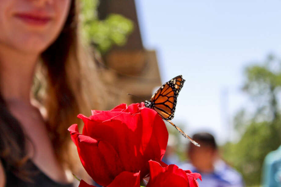 A Monarch butterfly lands on Jessica Watt's rose during Home Hospice's Butterfly Release and Family Celebrations event Saturday outside of Midland College's Carrasco Room. Tyler White/Reporter-Telegram Photo: TYLER WHITE