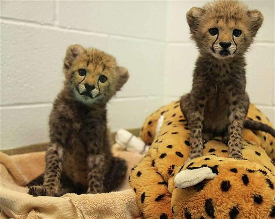 This undated photo provided by The Dallas Zoological Society shows two male cheetah cubs, Winspear and Kamau, born July 8 , 2013, that have joined the Dallas Zoo population. Zoo officials have marked the occasion by providing them with a puppy_an 8-week-old black Labrador retriever named Amani. (AP Photo/Dallas Zoological Society) Photo: Uncredited / AP2013