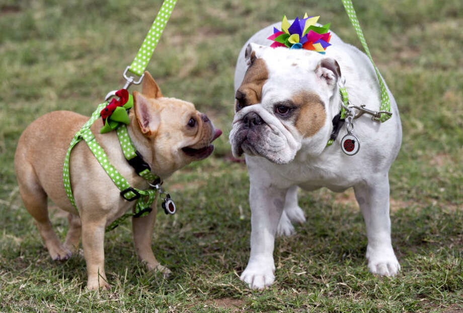 Sofi, a 4-year-old French bulldog and Squishy, a 5-year-old English bulldog show off bows from the Squishy Pet Product line on Tuesday at Kiwanis Park in Midland. James Durbin/Reporter-Telegram Photo: JAMES DURBIN