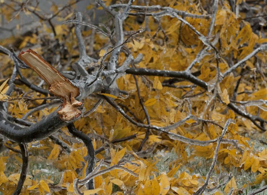 Tree limbs litter the ground around Midland following freezing rain weighing down limbs and breaking the off. Tim Fischer\Reporter-Telegram Photo: Tim Fischer