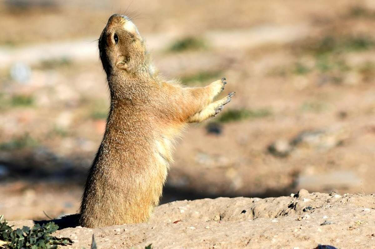 A prairie dog hollers to other prairie dogs outside of its hole in a field near S. Lamesa and Texas Ave. Saturday. James Durbin/Reporter-Telegram