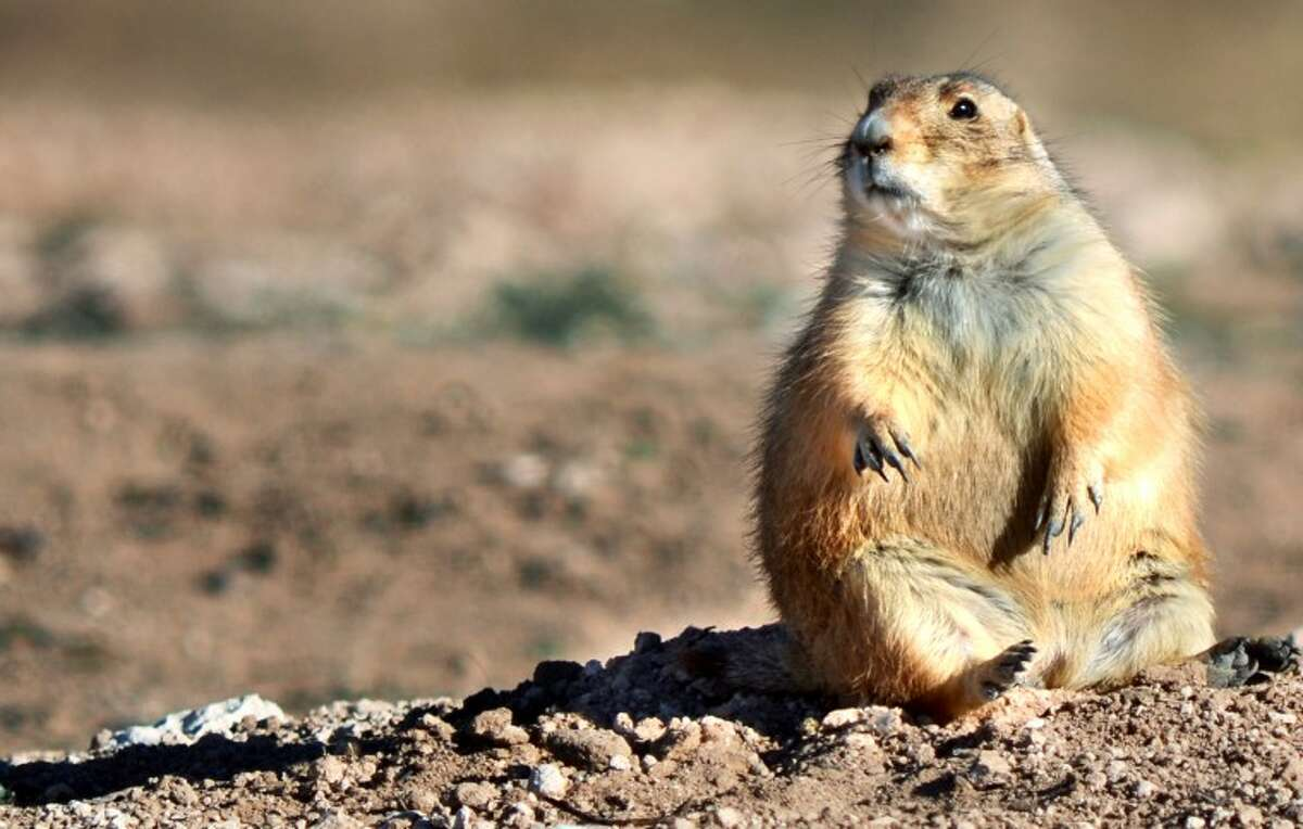 A prairie dog sits back and relaxes outside of its hole in a field near S. Lamesa and Texas Ave. Saturday. (James Durbin/Reporter-Telegram)