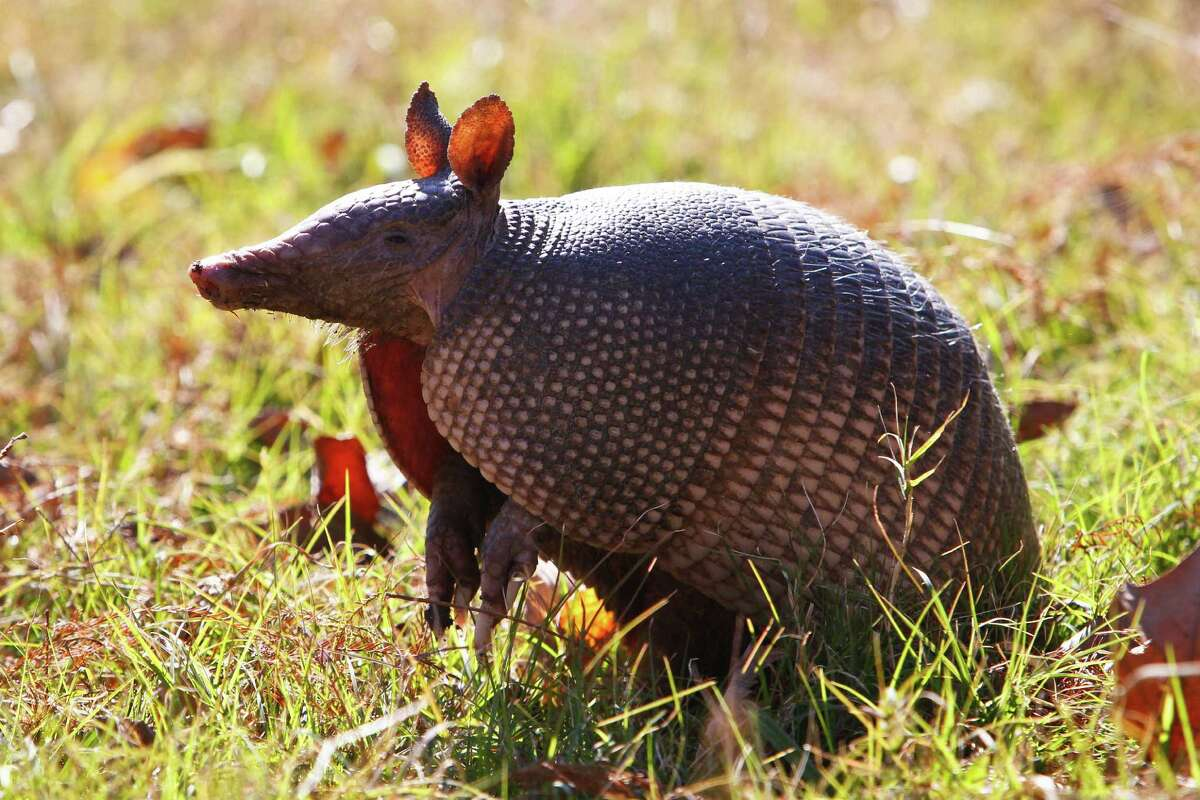 An armadillo stands up at the Armand Bayou Nature Center Tuesday, Jan. 11, 2011, in Pasadena. ( Michael Paulsen / Houston Chronicle )