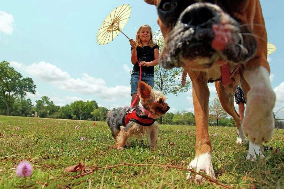 Camila Alvares of Katy, walks her dogs, Cloe, a Yorkshire Terrier, and Maya, a boxer, at Millie Bush Dog Park in George Bush Park. Photo: Johnny Hanson, Staff / © 2012  Houston Chronicle