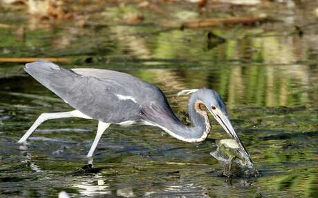 A tricolored heron stabs a mud minnow meal. The wetlands on the newly-acquired Cade Ranch tract of the Anahuac National Willdife Refuge are crucial feeding grounds of herons and other colonial waterbirds that nest on and around nearby High Island and draw tens of thousands of birders (and their dollars)  to the area each year.