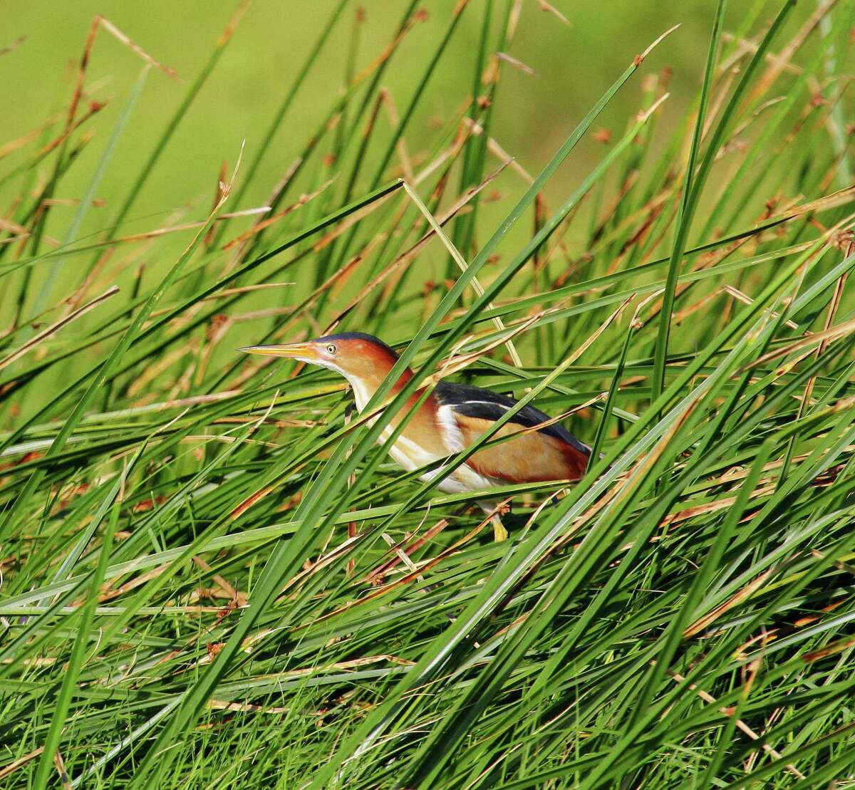 A least bittern stalks a meal in a patch of Olney bullrush on the Cade Ranch tract of the Anahuac National Willdife Refuge. Houston Chronicle photo by Shannon Tompkins