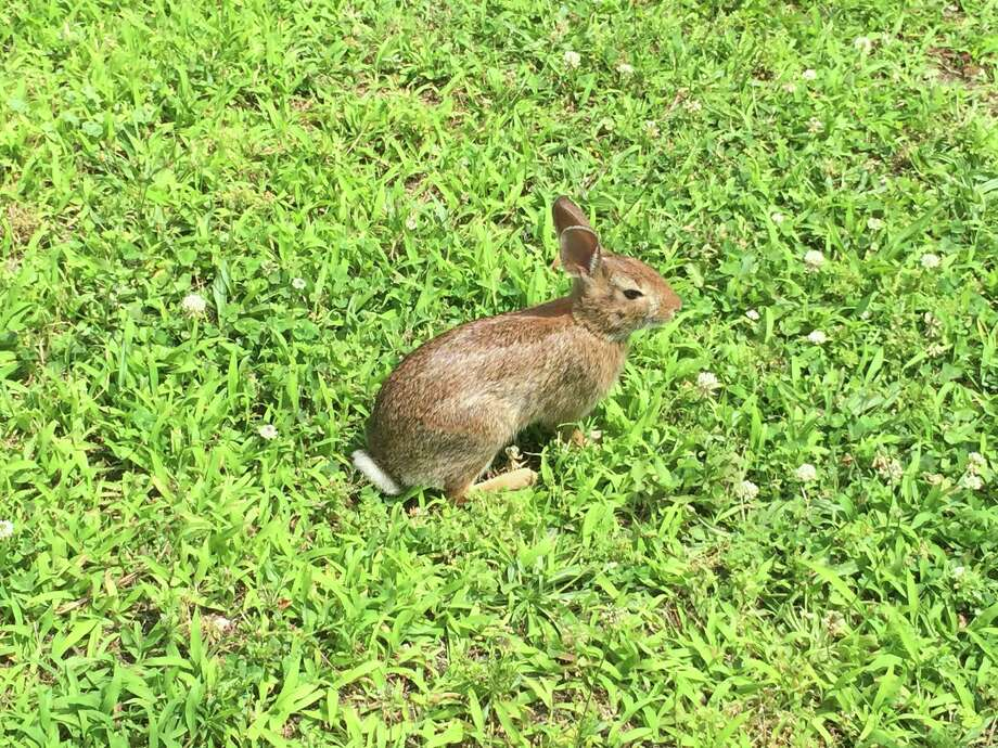 This eastern cottontail rabbit was spotted off Washington Boulevard near St. John's Towers. Rabbits are abundant in downtown, and may appear in greater numbers this year following a mild winter. Photo: Liz Skalka /Hearst Connecticut Media