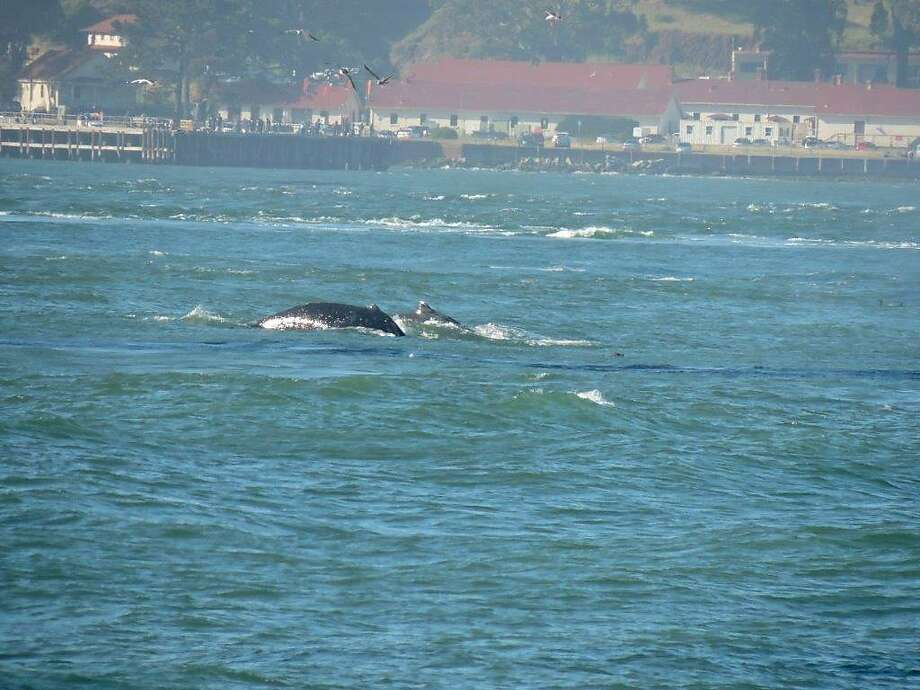 "Lauri Duke, a volunteer at the Marine Mammal Center and Golden Gate Cetacean Research, snapped this picture of a surfacing humpback whale from Fort Point. ""I had never seen humpback whales before, and it was awesome,"" Duke said."