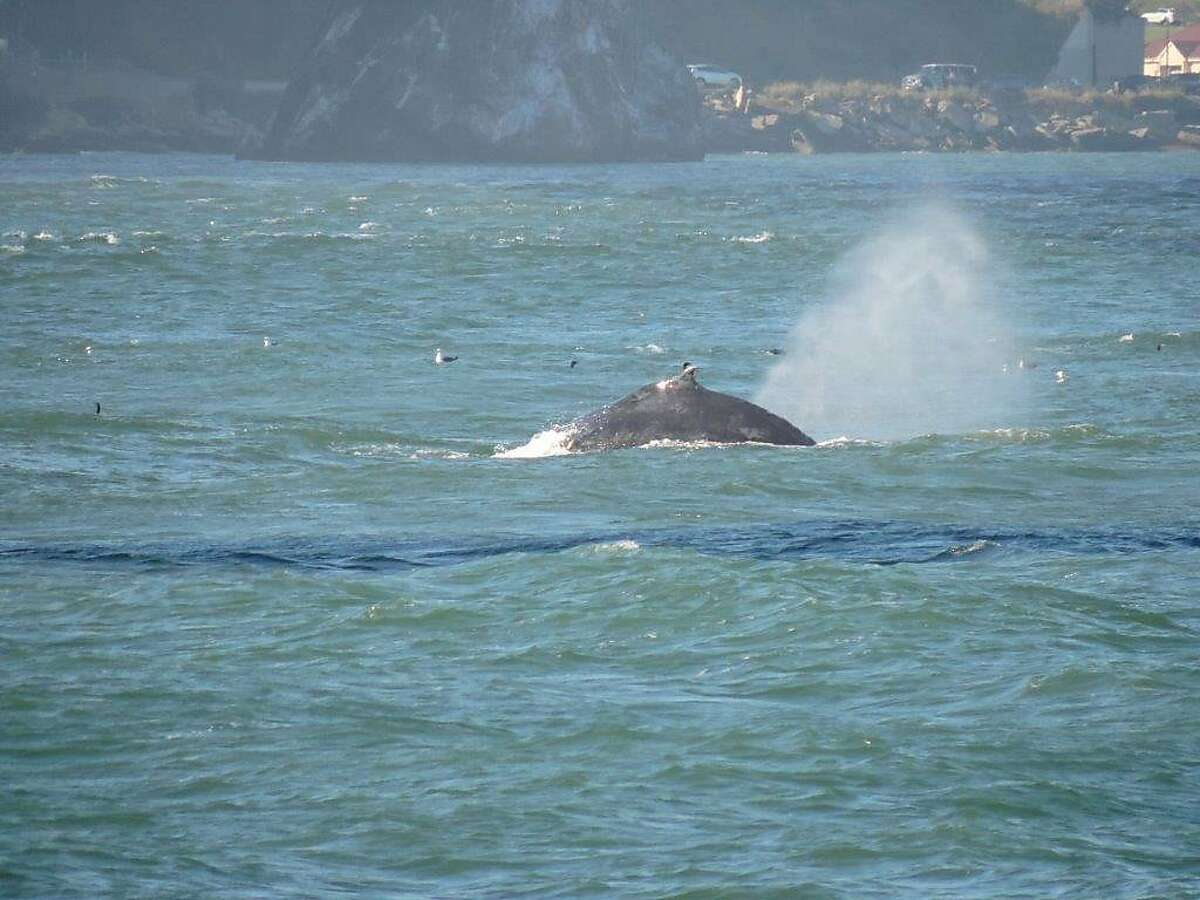 An unusually large number of humpback whales like this one have been seen over the past two weeks in San Francisco Bay. Photo by Lauri Duke.