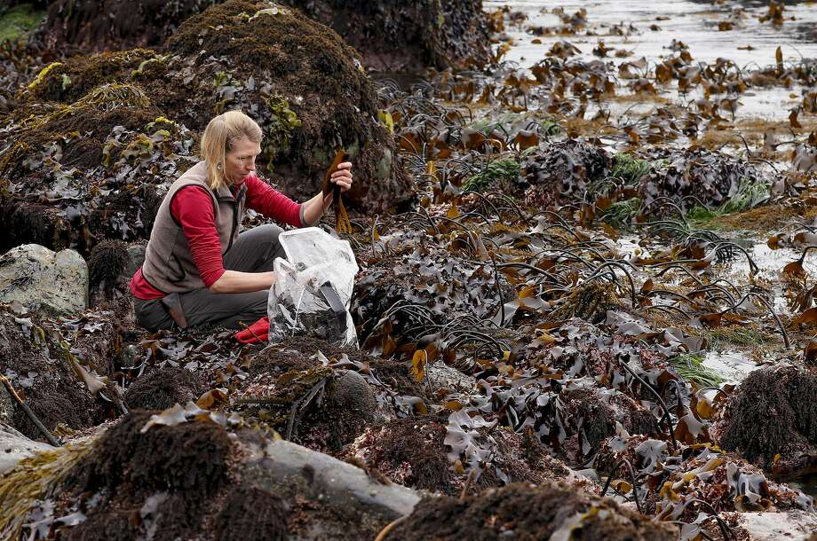 Heidi Herrmann, the owner of Strong Arm Farm in Healdsburg, harvests kombu seaweed north of Jenner. Photo: Michael Macor, The Chronicle